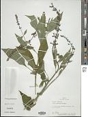 view Salvia guarinae Standl. digital asset number 1