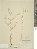 view Cryptantha muricata (Hook. & Arn.) A. Nelson & J.F. Macbr. digital asset number 1