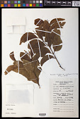 view Santalum insulare var. raiateense (J.W. Moore) Fosberg & Sachet digital asset number 1