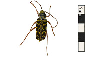 view Locust Borer digital asset number 1