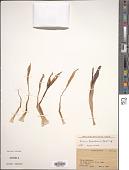 view Biarum carduchorum (Schott) Engl. digital asset number 1