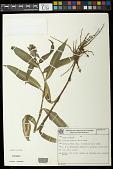 view Floscopa glabrata (Kunth) Hassk. digital asset number 1
