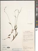 view Oplismenus hirtellus var. imbecillis (Aiton) Fosberg & Sachet digital asset number 1
