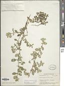 view Spermacoce latifolia Aubl. digital asset number 1
