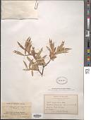 view Salix geyeriana Andersson digital asset number 1