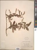 view Salix alba L. digital asset number 1