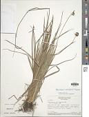 view Rhynchospora subdicephala T. Koyama digital asset number 1