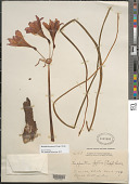 view Rhodophiala pratensis (Poepp.) Traub digital asset number 1