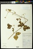 view Serjania glabrata Kunth digital asset number 1