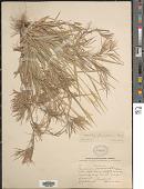 view Dichanthelium filiramum (Ashe) LeBlond digital asset number 1