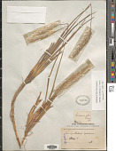 view Imperata cylindrica (L.) P. Beauv. digital asset number 1