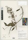 view Mikania discifera H. Rob. & W.C. Holmes digital asset number 1