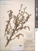 view Holodiscus argenteus (L. f.) Maxim. digital asset number 1