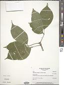 view Callichlamys latifolia (Rich.) K. Schum. digital asset number 1
