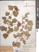 view Physocarpus intermedius (Rydb.) Schneider digital asset number 1