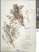 view Eriogonum maculatum A. Heller digital asset number 1
