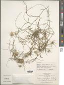 view Herreria montevidensis var. bonplandii (Lecomte) L.B. Sm. digital asset number 1
