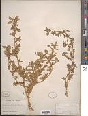 view Amaranthus blitoides S. Watson digital asset number 1