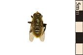 view Narcissus Bulb Fly digital asset number 1