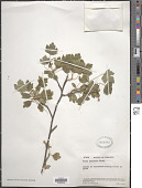 view Ribes odoratum H.L. Wendl. digital asset number 1