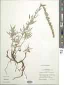 view Artemisia ludoviciana Nutt. digital asset number 1