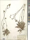 view Hieracium praealtum Gochnat digital asset number 1