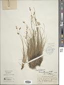 view Carex glareosa Schkuhr ex Wahlenb. digital asset number 1