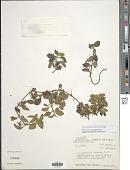 view Coccocypselum hispidulum (Standl.) Standl. digital asset number 1