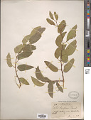 view Celtis laevigata var. reticulata (Torr.) L.D. Benson digital asset number 1
