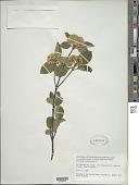 view Viburnum cassinoides L. digital asset number 1