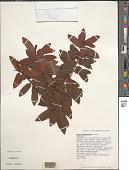view Eurya sandwicensis A. Gray digital asset number 1