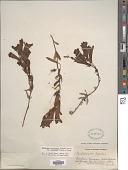 view Penstemon fruticosus var. scouleri (Lindl.) Cronquist digital asset number 1