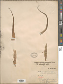 view Tillandsia streptophylla Scheidw. ex C. Morren digital asset number 1