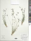 view Bulbostylis tenuifolia (Rudge) J.F. Macbr. digital asset number 1