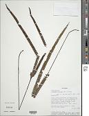 view Lindsaea stricta var. jamesoniiformis K.U. Kramer digital asset number 1