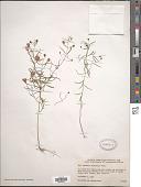 view Agalinis tenuifolia (Vahl) Raf. digital asset number 1