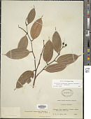 view Cavendishia tarapotana (Meisn.) Benth. & Hook. var. tarapotana digital asset number 1