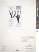 view Xerophyta equisetoides var. pauciramosa L.B. Sm. & Ayensu digital asset number 1