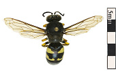 view Horse Guard Wasp digital asset number 1