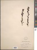 view Castilleja parviflora var. albida (Pennell) Ownbey digital asset number 1