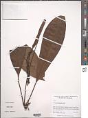 view Anthurium guayaquilense Engl. digital asset number 1