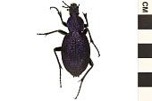 view Huge Violet Ground Beetle digital asset number 1
