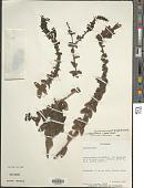 view Lamourouxia viscosa Kunth digital asset number 1