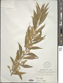 view Olea europaea subsp. cuspidata (Wall. & G. Don) Cif. digital asset number 1