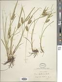 view Carex hystericina Muhl. digital asset number 1