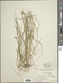 view Carex molesta Mack. digital asset number 1