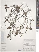 view Portulaca oleracea var. granulato-stellulata Poelln. digital asset number 1