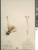 view Sisyrinchium amethystinum E.P. Bicknell digital asset number 1