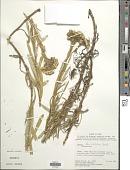 view Senecio flaccidifolius Wedd. digital asset number 1