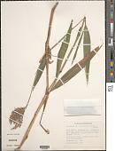 view Ischaemum latifolium (Spreng.) Kunth digital asset number 1